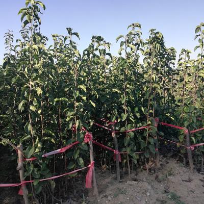 这是一张关于晚秋黄梨苗 1.5~2米的产品图片