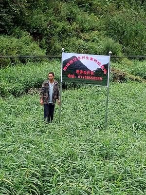 广西壮族自治区百色市隆林各族自治县大肉姜 带土 9两以上