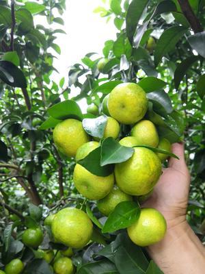 广西壮族自治区来宾市象州县沙糖桔 3.5 - 4cm 1 - 1.5两