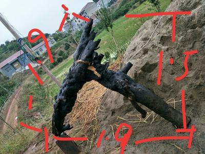 湖南省怀化市麻阳苗族自治县金弹子 25~30公分