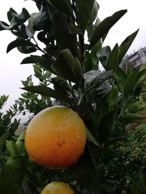 这是一张关于新宁脐橙 70-75mm 4-8两的产品图片