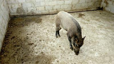 贵州省毕节市大方县特种野猪 120斤以上 母