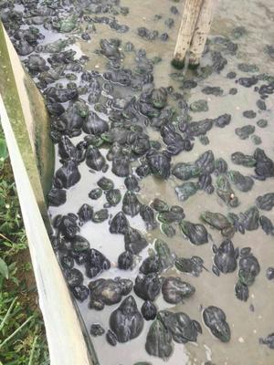 江西省赣州市于都县牛蛙