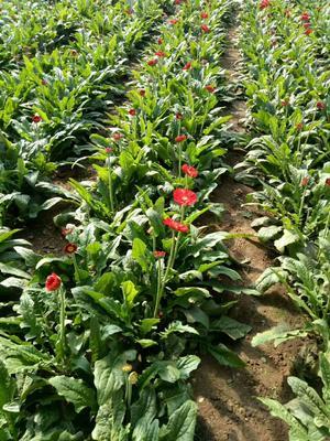 这是一张关于非洲菊的产品图片