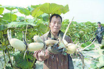 这是一张关于野生莲藕 7-9cm 20~25cm的产品图片