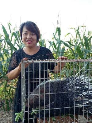 陕西省宝鸡市凤翔县中华豪猪 20-30斤