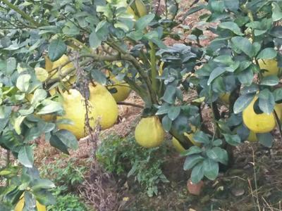广西壮族自治区玉林市博白县沙田柚 2.5斤以上