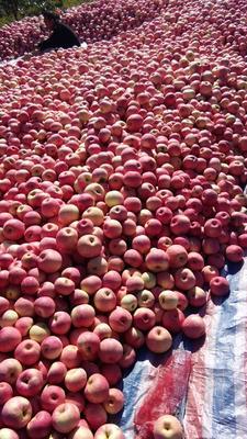 这是一张关于寒富苹果 纸袋 全红 75mm以上的产品图片