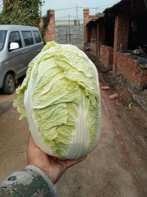 这是一张关于春宝黄白菜 3~6斤 净菜的产品图片