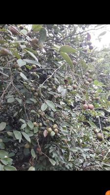广西壮族自治区南宁市上林县野山茶籽