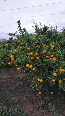 这是一张关于石门蜜橘 5 - 5.5cm 1 - 1.5两的产品图片
