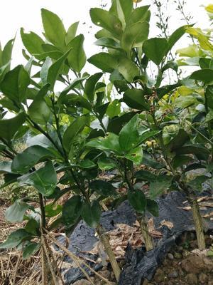 这是一张关于金秋砂糖桔苗 嫁接苗 0.2~0.35米的产品图片
