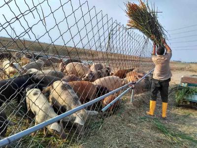 山东省东营市利津县生态野猪 200-300斤 统货