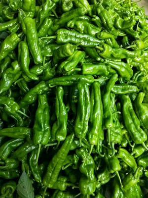 这是一张关于薄皮椒 10~15cm 靑色 微辣的产品图片