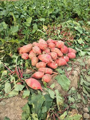 河南省驻马店市确山县大红袍萝卜 0.2~1斤