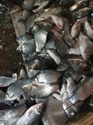 湖北省武汉市黄陂区池塘鲫鱼 人工养殖 0.05公斤