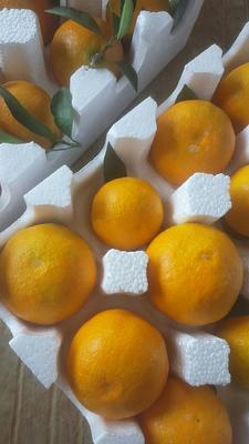这是一张关于爱媛38号柑桔 3 - 3.5cm 3两以上 的产品图片