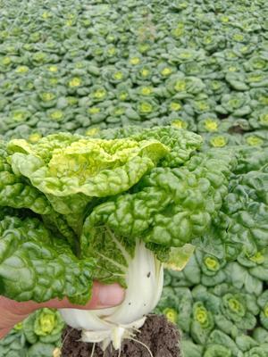 安徽省蚌埠市怀远县超级黄心菜