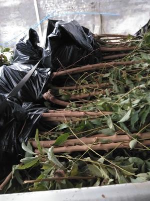 这是一张关于蜂糖李树苗的产品图片