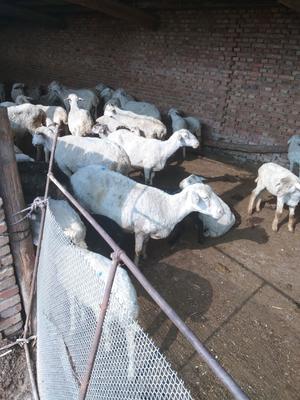 这是一张关于绵羊 50-80斤的产品图片