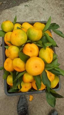 这是一张关于蜜桔 5.5 - 6cm 2 - 3两的产品图片