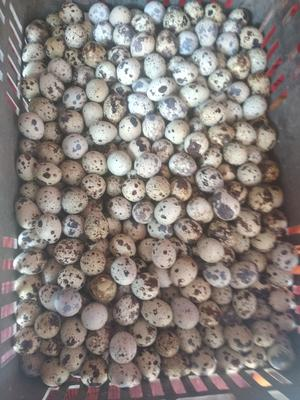 湖北省黄冈市黄州区土鹌鹑蛋 食用 散装