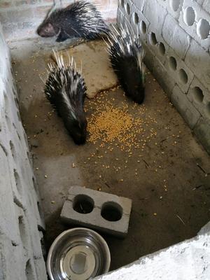 广西壮族自治区玉林市北流市中华豪猪 20-30斤