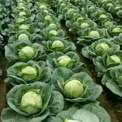 这是一张关于旺旺绿园甘蓝 1.5~2.0斤的产品图片