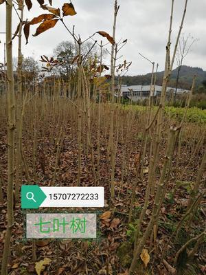 湖北省恩施土家族苗族自治州鹤峰县七叶树