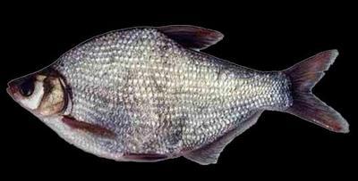 湖南省长沙市浏阳市池塘鳊鱼 人工养殖 1-1.5公斤