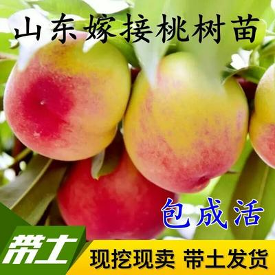 山东省临沂市平邑县嫁接桃树苗 1~1.5米
