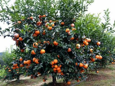 沃柑苗 移栽苗 0.35~0.5米