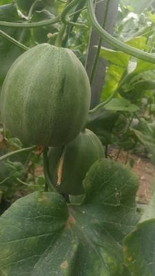 河北省唐山市丰润区久青蜜甜瓜 0.5斤以上