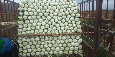 宁夏回族自治区固原市西吉县青麻叶大白菜 6~10斤 净菜