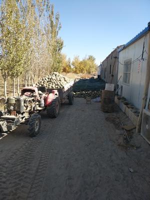 新疆维吾尔自治区巴音郭楞蒙古自治州若羌县麻皮八月瓜 种植 60g以下