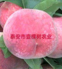 冬桃苗 1~1.5米