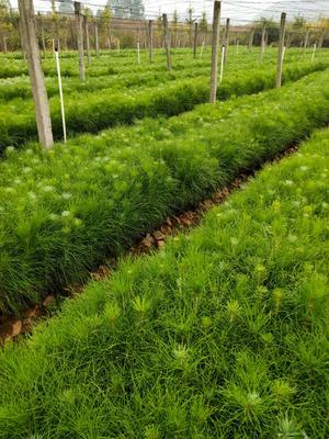 湖南省怀化市中方县湿地松容器苗