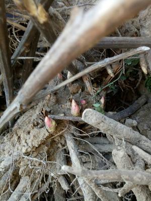 山东省菏泽市牡丹区白花芍药 2~4cm 0.5~1米