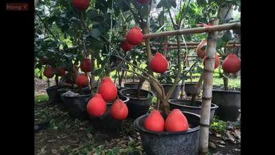 越南红皮红心红肉柚
