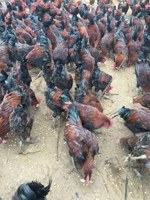 贵州省贵阳市乌当区土鸡 统货 4-5斤