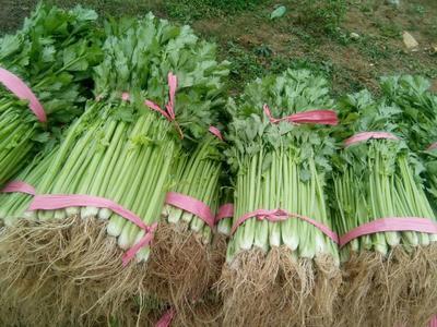 贵州省毕节市黔西县香芹 40~45cm 大棚种植 0.5斤以下