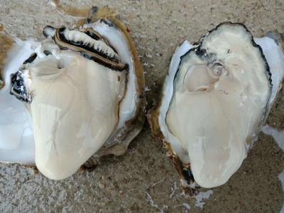 北海牡蛎 人工殖养 1-2两/只