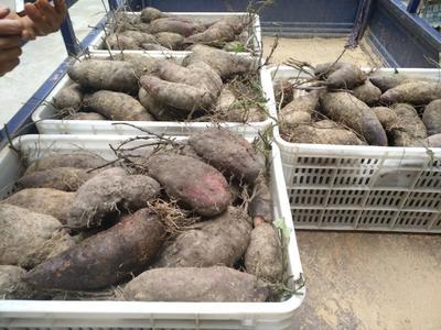 江西省赣州市会昌县紫板薯 1斤以上
