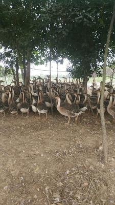 安徽省宿州市埇桥区斑嘴鸭 2-3斤