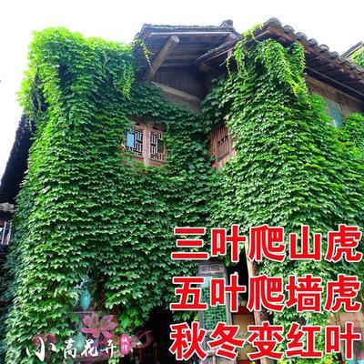 江苏省宿迁市沭阳县爬山虎 1~1.5米 1公分以下