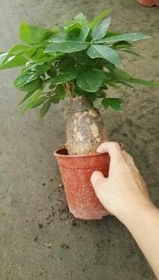 云南省昆明市呈贡区盆栽发财树