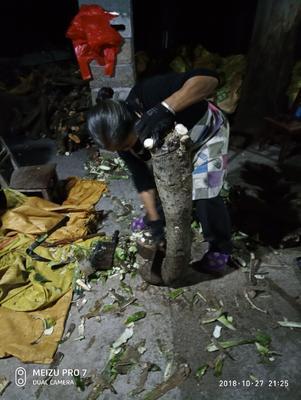 贵州省安顺市关岭布依族苗族自治县食用仙人掌 40公分以上