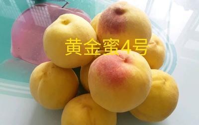 山东省潍坊市青州市黄金蜜4号 80mm以上 4两以上