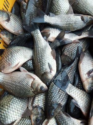 重庆璧山区池塘鲫鱼 人工养殖 0.25-1公斤