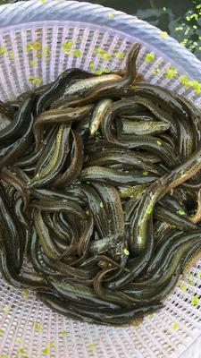 福建省三明市宁化县台湾泥鳅 50-60尾/公斤 8-10cm 人工养殖
